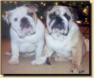 Blue Diamond Bulldogs - English Bulldog Puppies